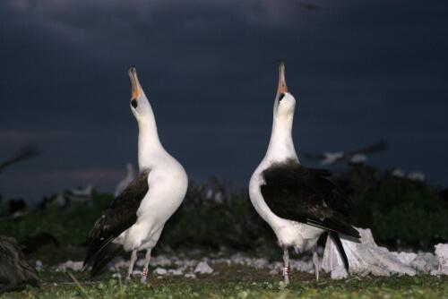 Selección sexual: pareja de albatros haciendo la danza de apareamiento.