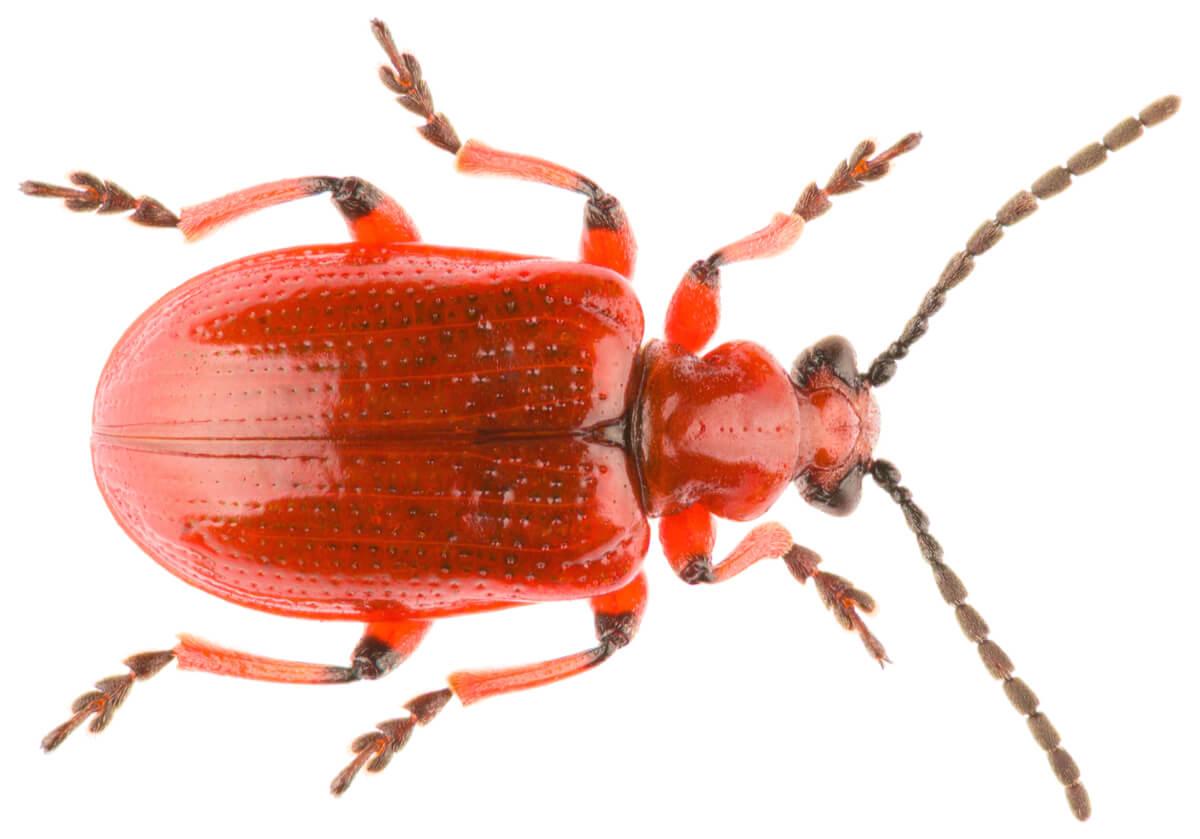 Antenas de un escarabajo rojo.