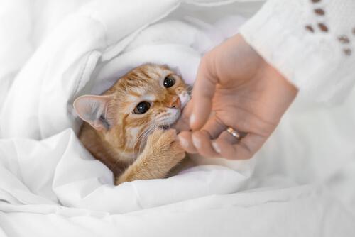 Los gatos muerden cuando se han cansado de los mimos.