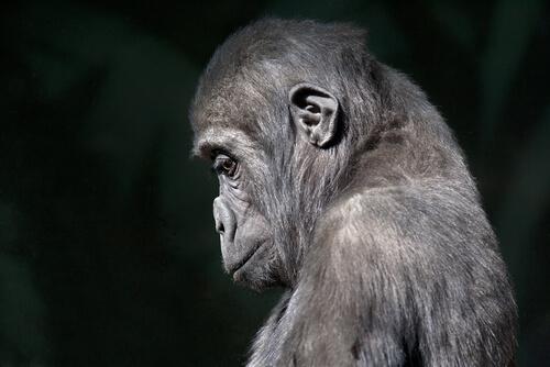 El duelo en los primates y otras especies