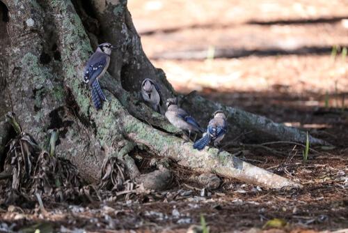 Grupo de arrendajos al pie de un árbol.