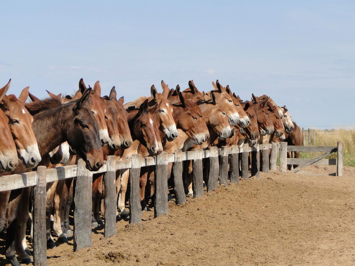 Grupo de mulas en un establo.