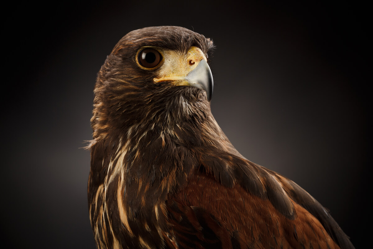 Cara de un halcón de Harrys.