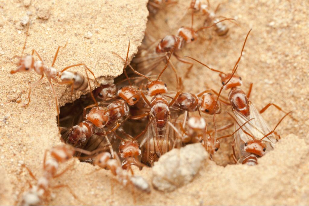 Hormigas de plata sahariana: ¿las más veloces del mundo?