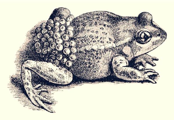 Ilustración del sapo partero común.