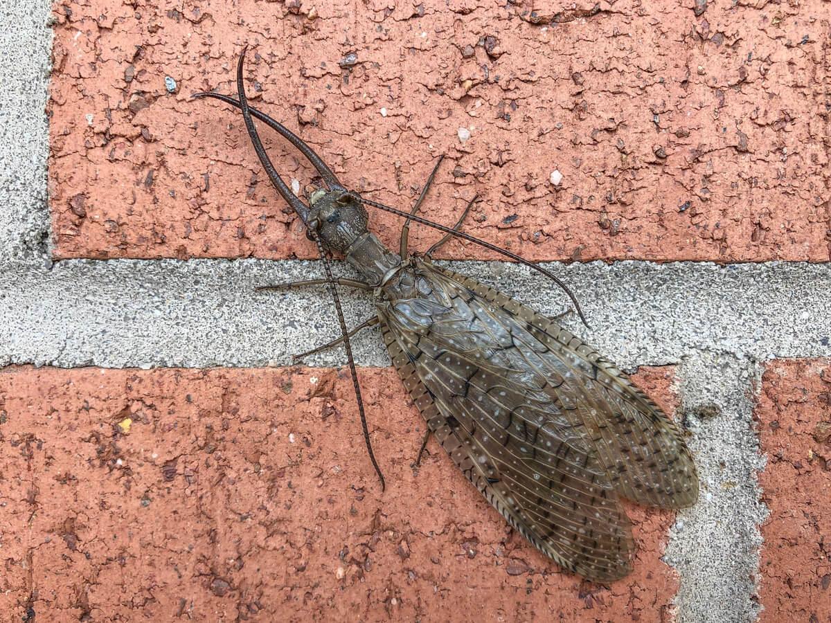 Un insecto de aspecto amenazador.