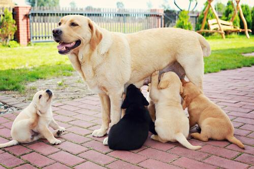 Labradora amamantando cachorros.