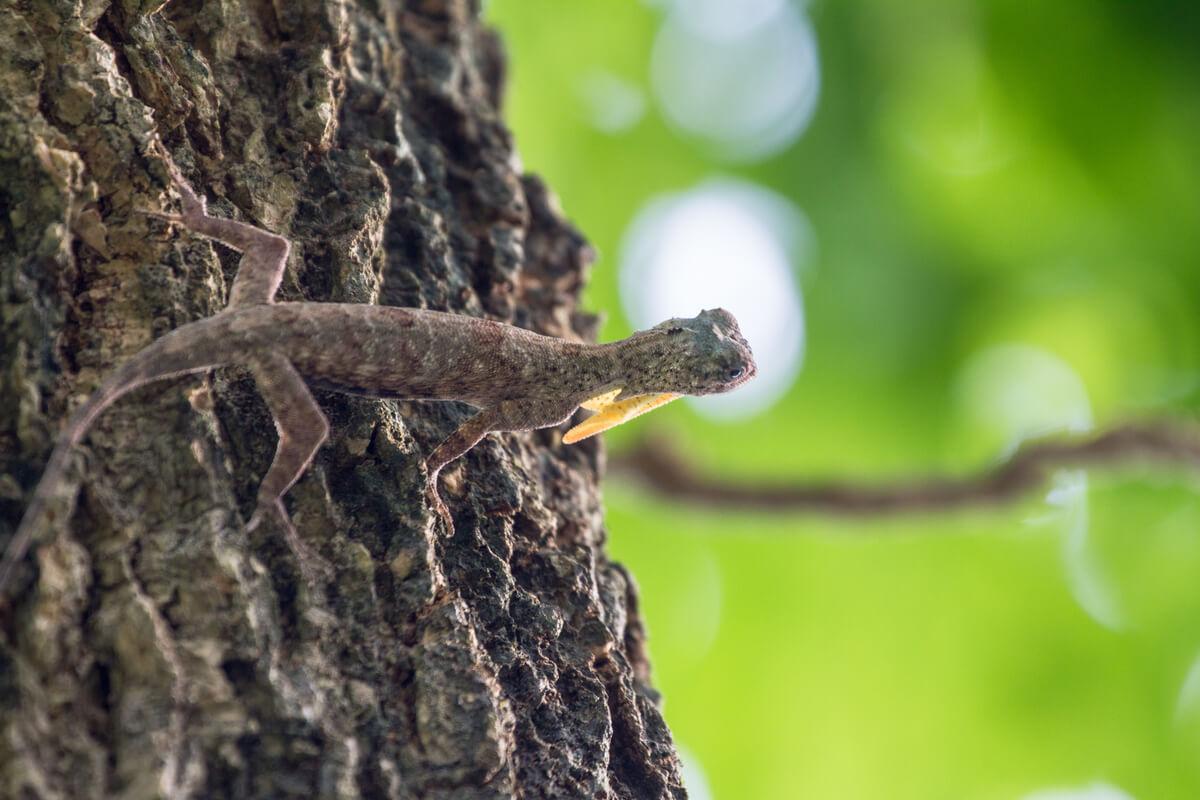 Un lagarto volador que va a saltar.