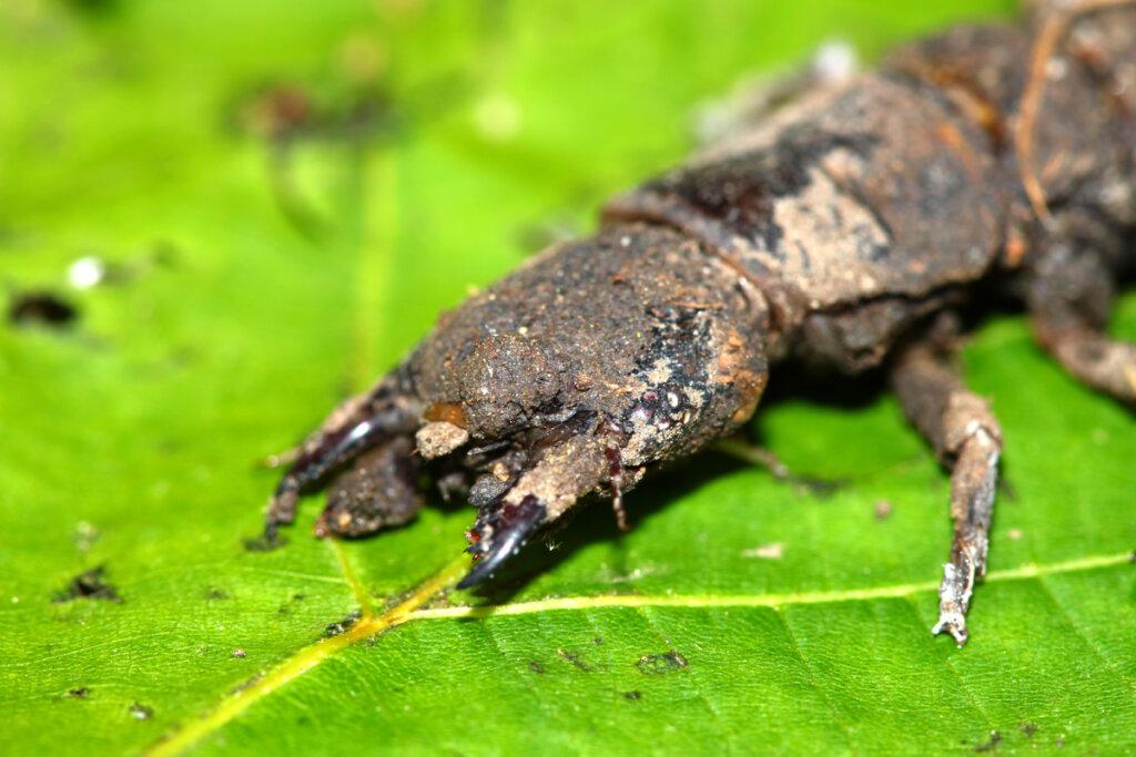 Insectos inofensivos pero de aspecto amenazador