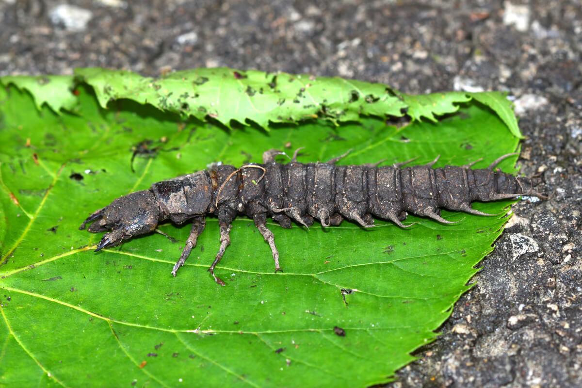 Una larva de insecto de cuerpo entero.