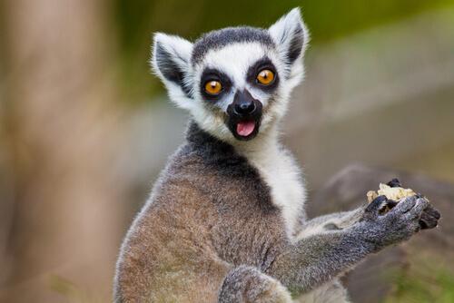 Lemur catta: el lémur de cola anillada.