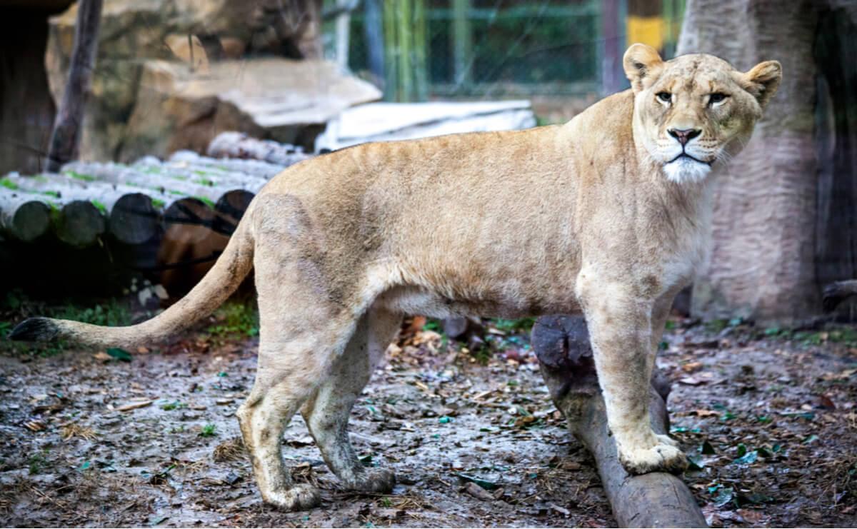Los ligres son animales híbridos.