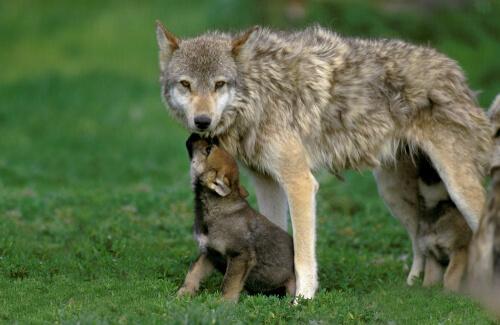 Lobo con lobezno.