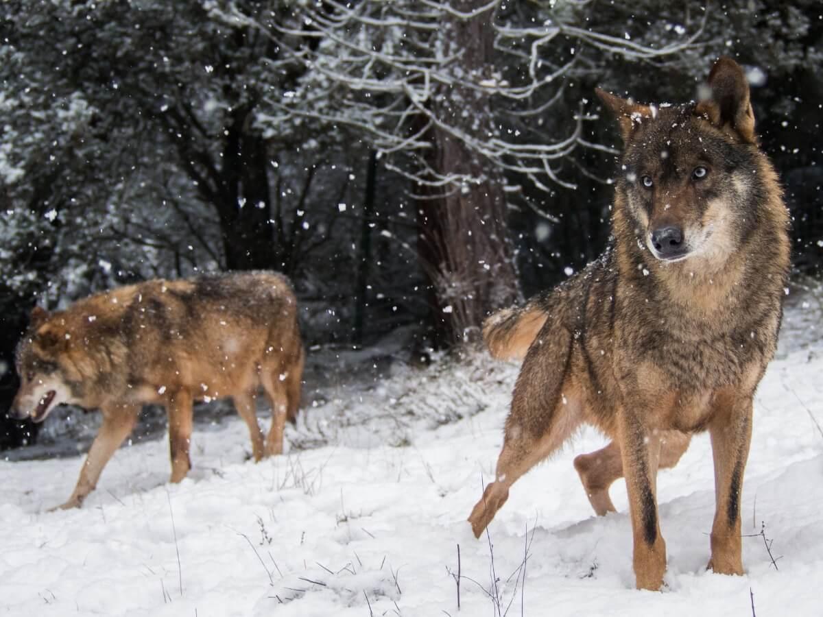 Un ejemplar de lobo pardo.
