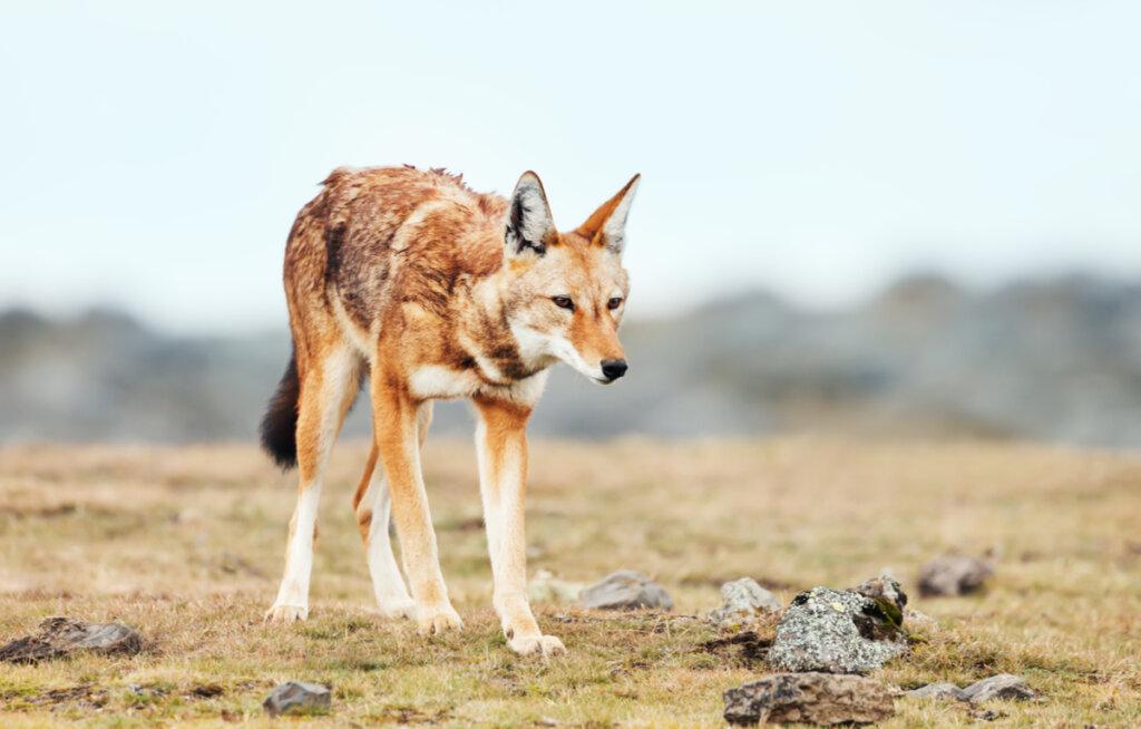 Lobos en peligro de extinción: los casos del lobo rojo y el lobo etíope