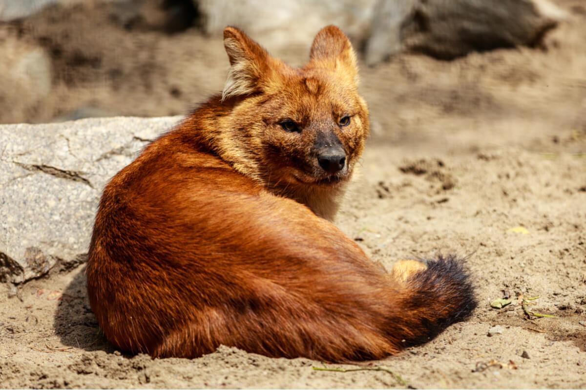 Un loup rouge couché.