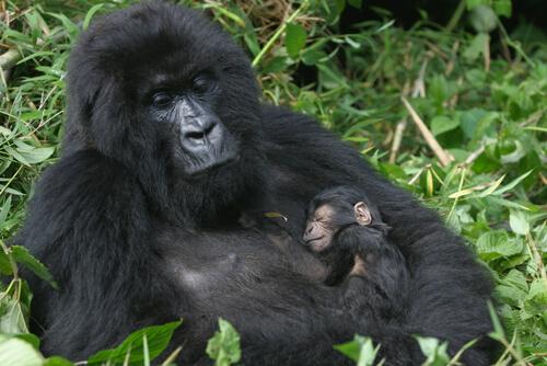Madre gorila cargando a su cría.