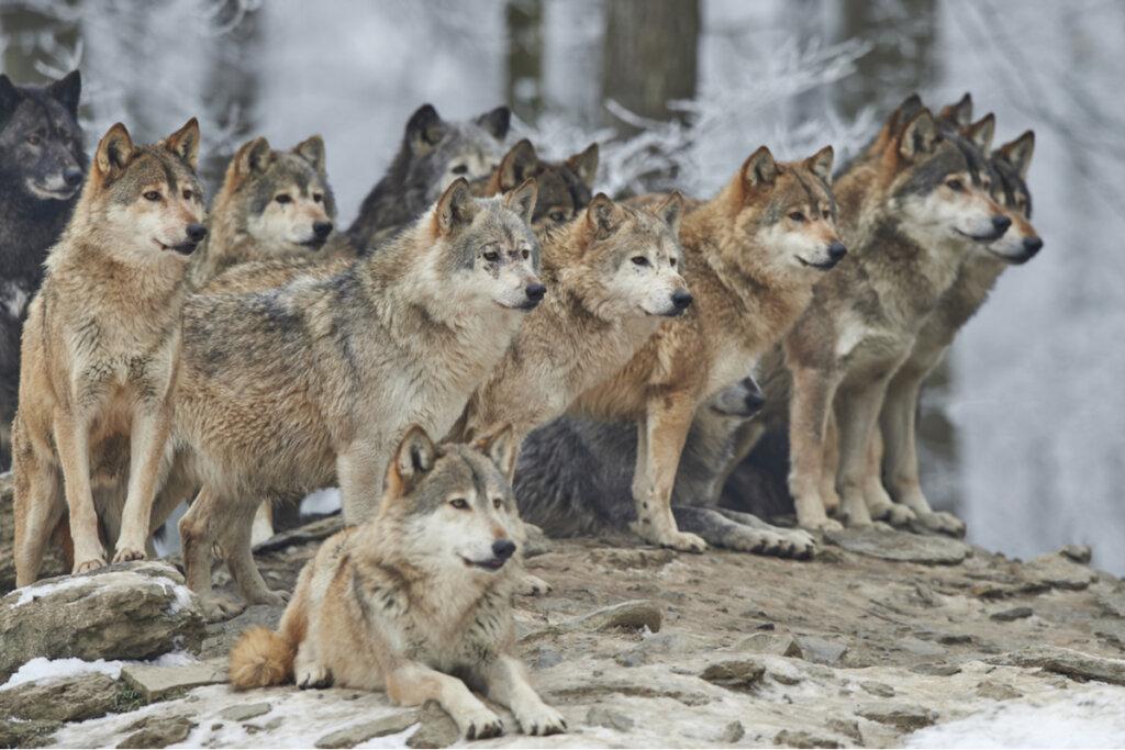 ¿Hay animales con sentido de liderazgo?