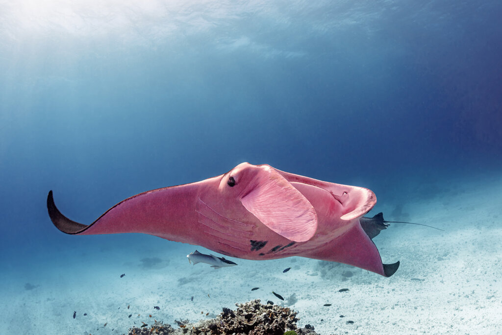 La mantarraya rosa de la Gran Barrera de Coral