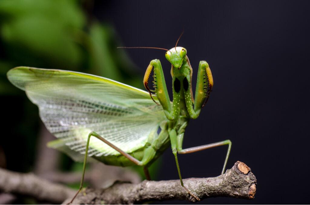 4 curiosidades sobre la mantis religiosa