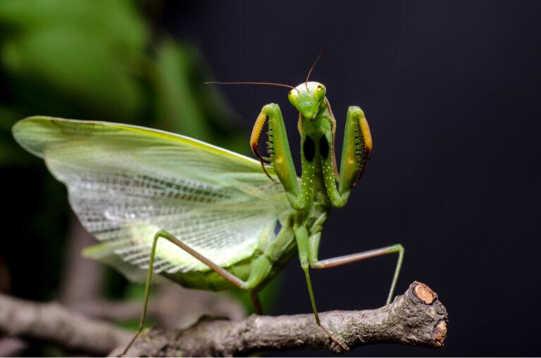 Mantis religiosas: los tipos más fascinantes