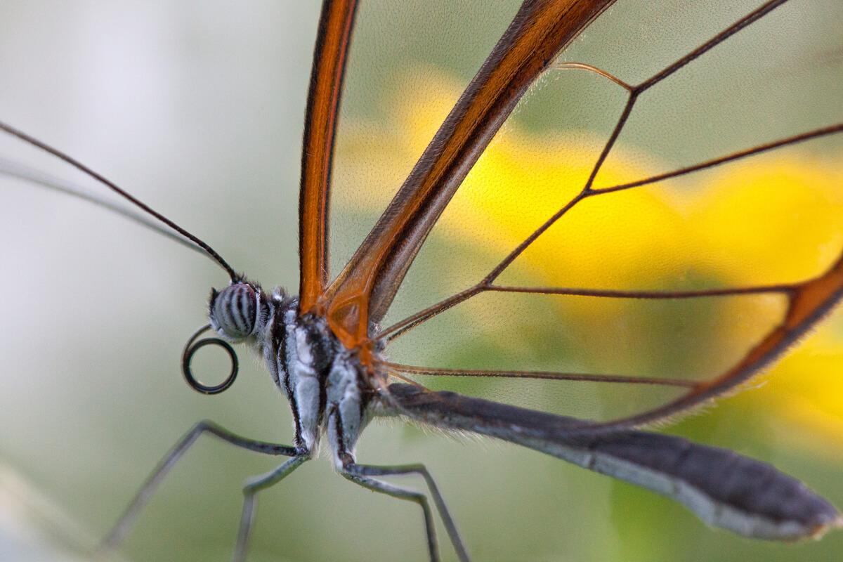 Detalle de las alas de una mariposa de cristal.