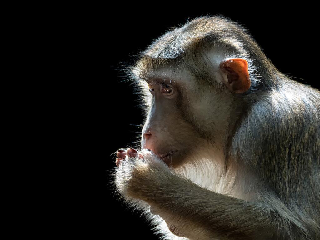 Monos comedores de ratas