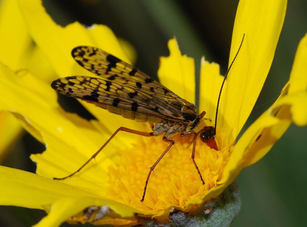 Ejemplar de mosca escorpión sobre una flor.