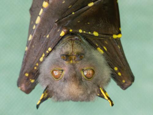 ¿Por qué las enfermedades virales no afectan a los murciélagos?