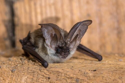Murciélago gris de orejas largas.