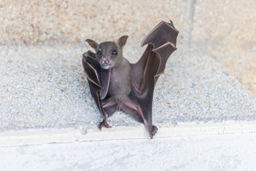 Los murciélagos pueden llegar a vivir una vida muy larga.