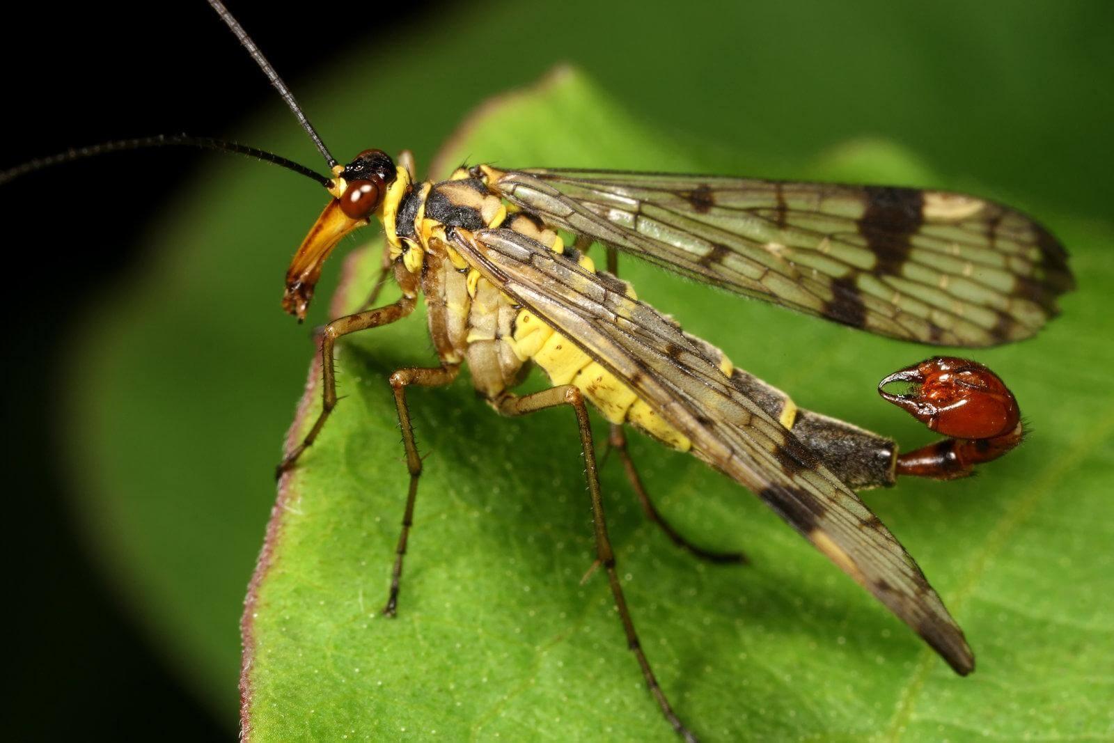 La Panorpa spp. es mejor conocido como: mosca escorpión.