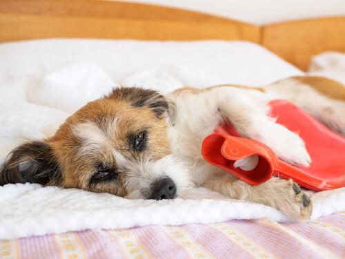 Síntomas de la artritis en las mascotas