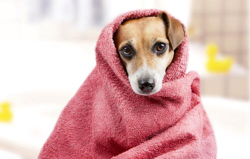 Después de bañar a la mascota hay que secarla bien.