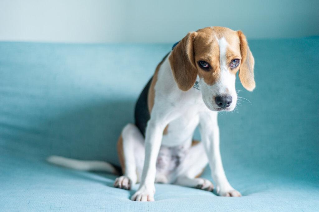 Cortisol: ¿cómo actúa en los perros?
