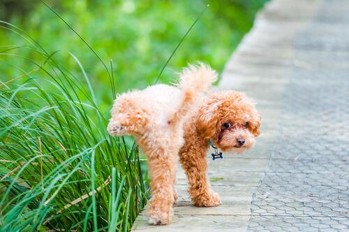 Perro poodle orinando parque.