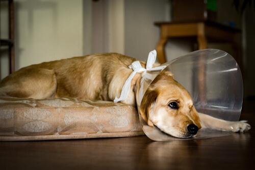 Perro triste con collar veterinario.