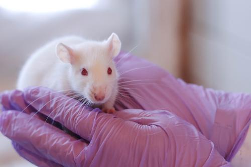 Veterinario sujetando rata blanca de laboratorio.
