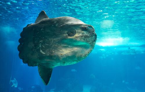 El pez luna (Mola mola), el más pesado del mundo