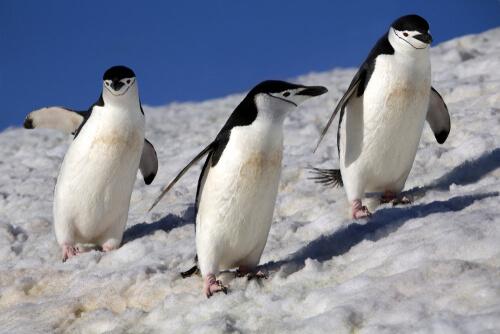 Tres ejemplares de Pygoscelis antarcticus.
