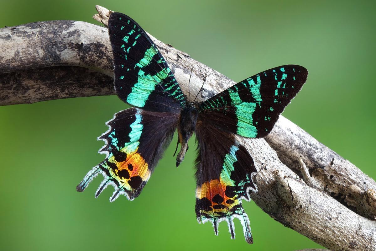 La polilla crepuscular: un espíritu noble de Madagascar