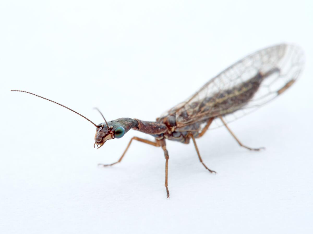 El curioso caso de los insectos controladores de plagas