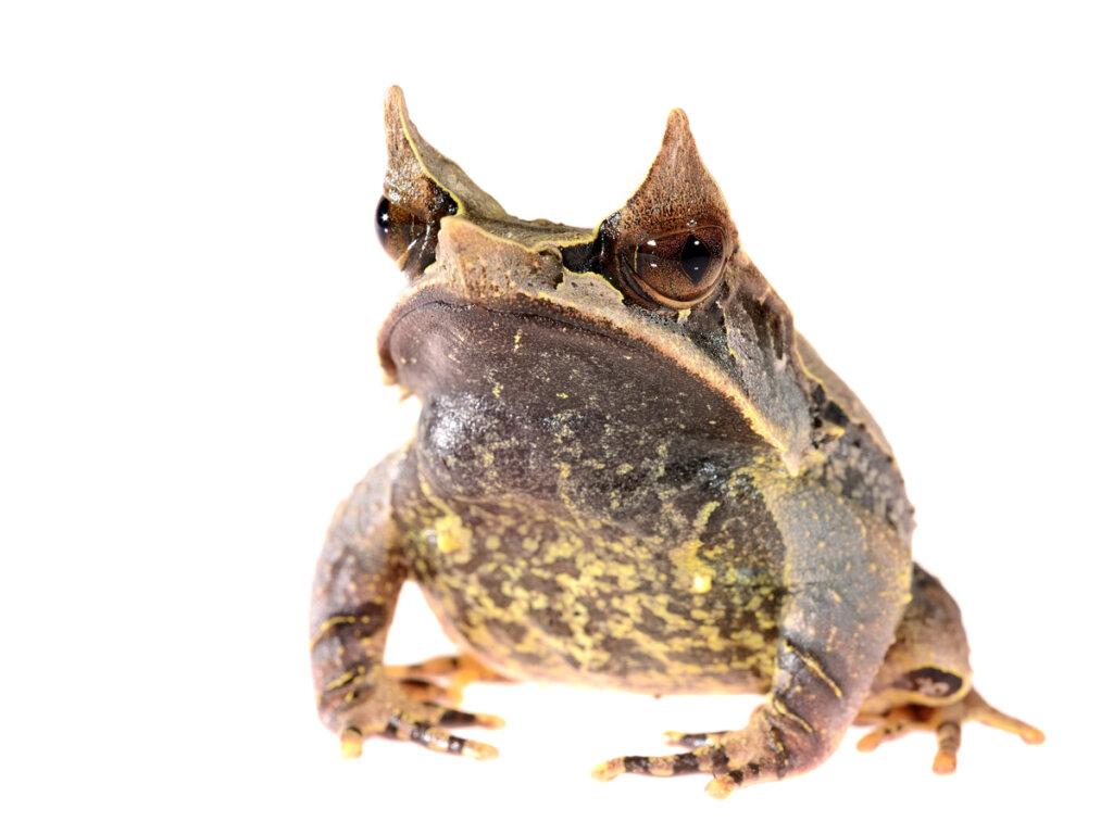 Rana cornuda asiática: la famosa rana hoja