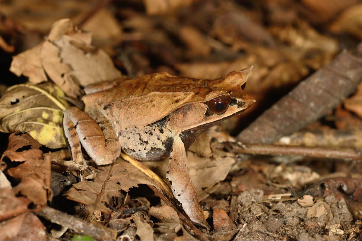 Una rana cornuda sobre una hoja.