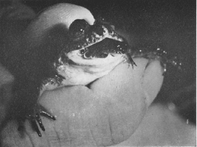 La curiosa cualidad de la rana incubadora gástrica