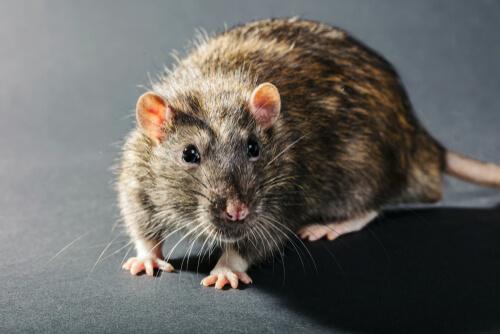 Rata gris de cerca.
