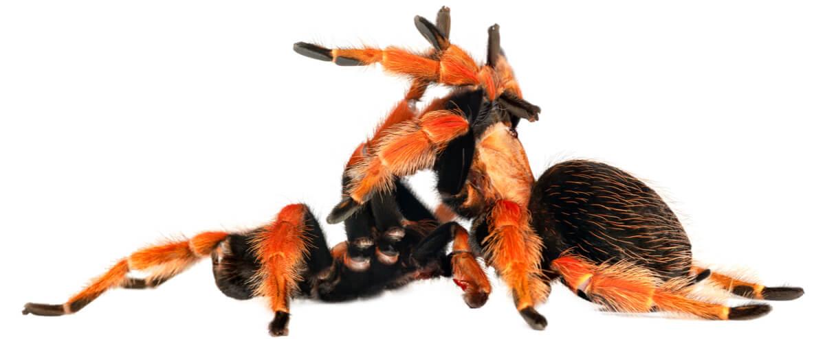 A male and a female tarantula.