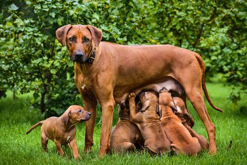 Datos claves de la lactancia en perros