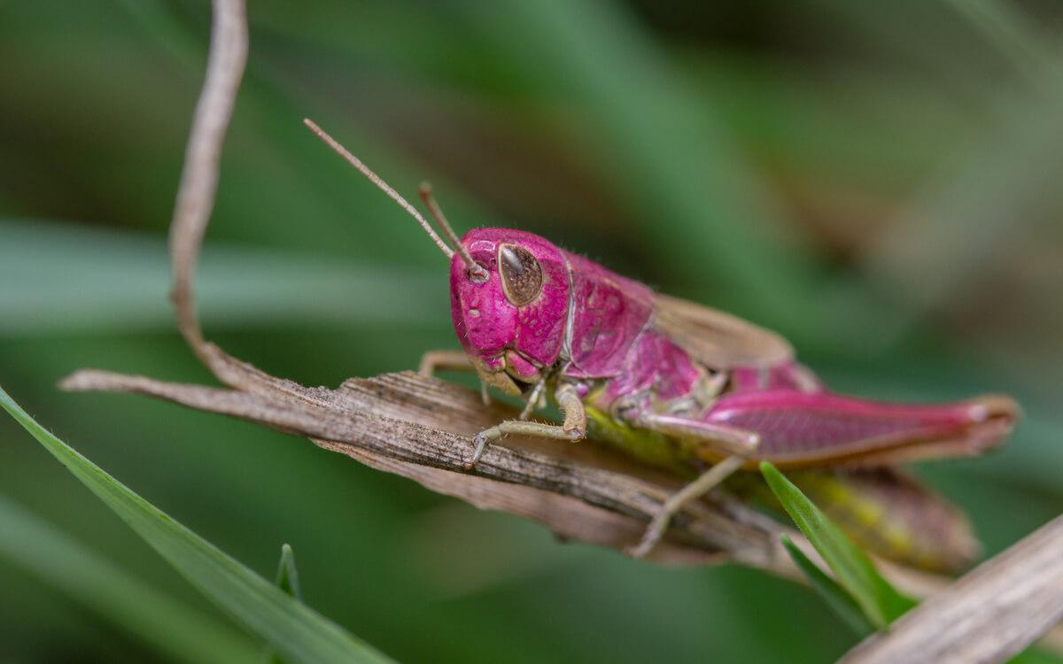 Kuriositäten über Heuschrecken - ein rosafarbenes Exemplar