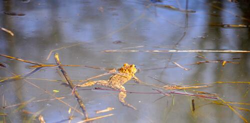 Sapo partero común nadando en un estanque en Alemania.